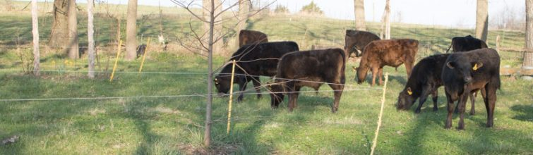 Lazy Weaned Calf Lawn Mowing